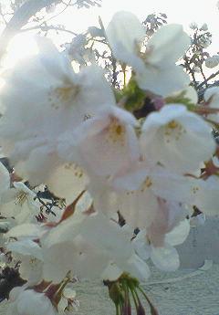 おにぎり桜ストリープ