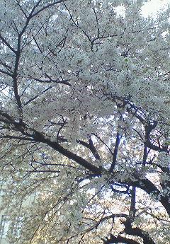 春爛漫だ!