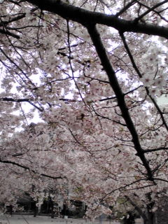 桜が咲いたら年をとる